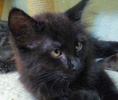 A picture of #ET01939: Uno a Domestic Medium Hair black