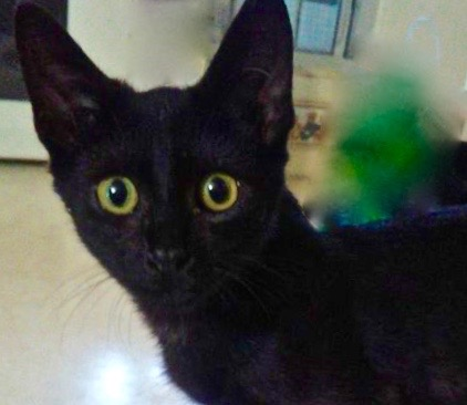 [picture of Dos, a Domestic Short Hair black\ cat]