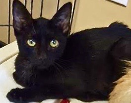 [picture of Tres, a Domestic Short Hair black\ cat]