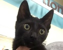 A picture of #ET01942: Quatro a Domestic Short Hair black