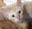 A picture of #ET01943: Cinco a Domestic Short Hair orange