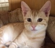 A picture of #ET01944: Seis a Domestic Short Hair orange
