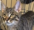A picture of #ET01946: Ocho a Domestic Medium Hair brown tabby