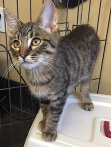 [another picture of Ocho, a Domestic Medium Hair brown tabby\ cat]