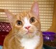 A picture of #ET01947: Little Turbo a Domestic Short Hair orange