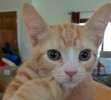 [picture of Little Turbo, a Domestic Short Hair orange cat]