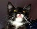 [picture of Suzi, a Ragdoll Mix back/white tuxedo cat]