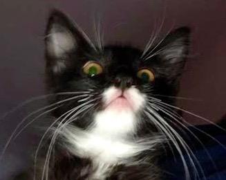 [picture of Suzi, a Domestic Medium Hair back/white tuxedo\ cat]
