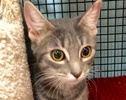 A picture of #ET01950: Silver a Domestic Short Hair silver tabby