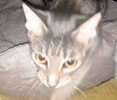 [picture of Silver, a Domestic Short Hair silver tabby cat]