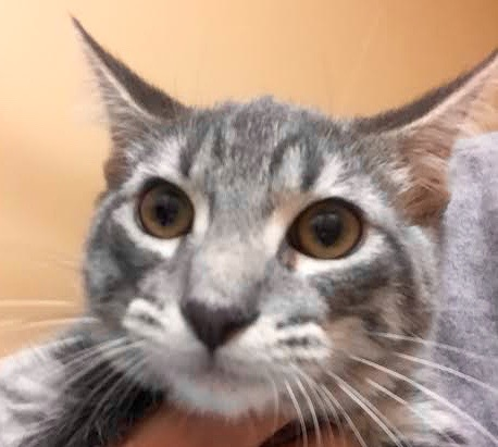 [picture of Handsel, a Domestic Short Hair silver tabby\ cat]