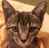 A picture of #ET01952: Squeaky a Domestic Short Hair tabby