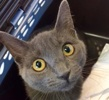 A picture of #ET01953: Violet a Russian Blue Mix blue