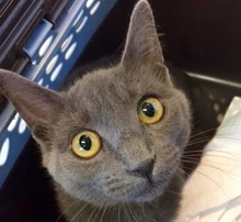 [picture of Violet, a Russian Blue Mix blue\ cat]