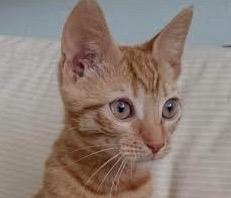 [picture of Malibu, a Domestic Short Hair orange tabby\ cat]