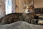 A picture of #ET01956: Jack a Domestic Short Hair brown tabby