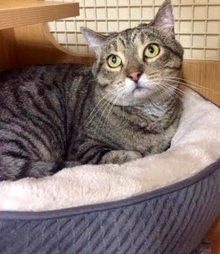 [picture of Jack, a Domestic Short Hair brown tabby cat]