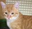 A picture of #ET01957: Nilgari a Domestic Short Hair orange/white