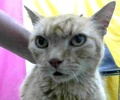 A picture of #ET01958: Zorin a Domestic Short Hair orange tabby