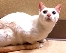 [picture of Padre, a Siamese flame point cat]