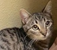 A picture of #ET01960: Diego a Domestic Short Hair gray tabby