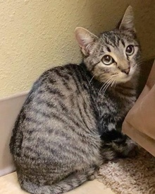 [another picture of Diego, a Domestic Short Hair gray tabby\ cat]
