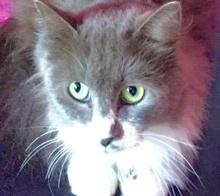 [picture of Hoodina, a Ragdoll Mix blue/white\ cat]