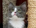 A picture of #ET01967: Blueberry Pie a Ragdoll Mix blue/white