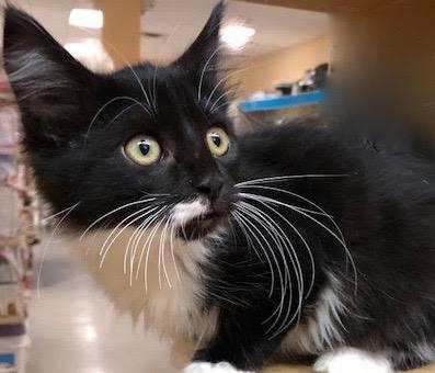 [picture of Bostn Cream Pie, a Ragdoll Mix black/white cat]