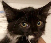 [picture of Bostn Cream Pie, a Ragdoll Mix black/white\ cat]