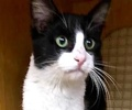 A picture of #ET01969: Cobo a Domestic Short Hair black/white