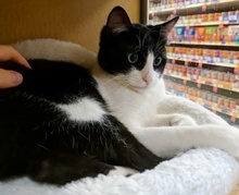 [another picture of Cobo, a Domestic Short Hair black/white\ cat]