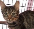 A picture of #ET01971: Sweetheart a Domestic Medium Hair gray tabby