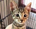A picture of #ET01974: Novio a Domestic Short Hair gray tabby