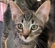 A picture of #ET01975: Novia a Domestic Short Hair gray tabby