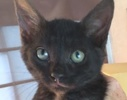 A picture of #ET01976: Bruno a Egyptian Mau Mix smoke
