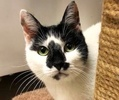A picture of #ET01977: Milan a Domestic Short Hair white/black