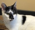 [picture of Milan, a Domestic Short Hair white/black cat]