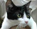 A picture of #ET01978: Huston a Domestic Short Hair white/black