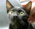 A picture of #ET01980: Tuffy a Domestic Short Hair black
