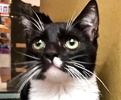 A picture of #ET01981: Tuffy a Domestic Short Hair black/white tuxedo