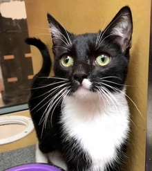 [another picture of Tandy, a Domestic Short Hair black/white tuxedo\ cat]