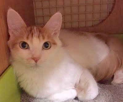 [picture of Wiley, a Turkish Van Mix white/orange cat]