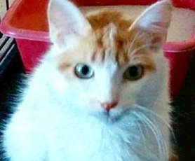 [picture of Wiley, a Turkish Van Mix white/orange\ cat]