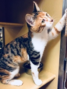 [another picture of Tigera, a Domestic Short Hair tigercalico\ cat]
