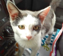 [picture of Tojo, a Domestic Short Hair white/blue\ cat]