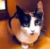 A picture of #ET01986: Tatia a Domestic Short Hair dilute calico