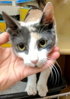 [another picture of Tatia, a Domestic Short Hair dilute calico\ cat]
