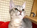 A picture of #ET01990: Rosita a Domestic Short Hair silver tabby