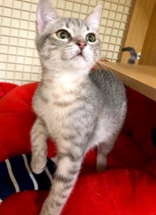 [another picture of Rosita, a Domestic Short Hair silver tabby\ cat]